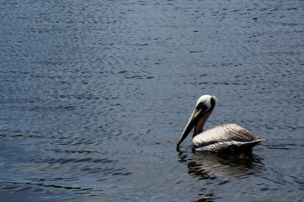 Brown Pelican (Pelecanus occidentalis) in the harbor of Steinhatchee, FL