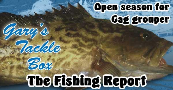 Open season for gag grouper
